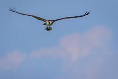 Flying Fish (Scott Joshua Dere) Tags: red osprey bunker birdofprey ospreywithfish fishfood fisheagle