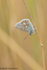 Common blue (Matt Hazleton) Tags: commonblue polyommatusicarus butterfly insect wildlife nature animal outdoor canon canoneos7dmk2 canon100400mm eos 7dmk2 100400mm matthazleton matthazphoto summerleys bcnwildlifetrust northamptonshire