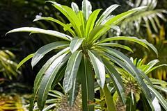 Foliage Plant (LarryJay99 ) Tags: mountsbotanicalgardens nature westpalmbeach florida plants foliage urbanvegetation flickr