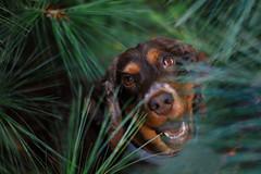 :) (Vkarpi) Tags: forest fern green greenery nature plants animal puppy dog spaniel chocolate cute cocker