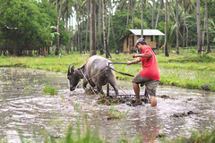 Farmer in the rain #2 (vincent.lecolley) Tags: asia philippines negrosoriental tambobo farmer ricefield jungle buffalo rice culture agriculture hardlife life work hardwork rain