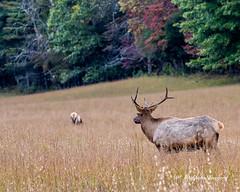 Elk 39 (augphoto) Tags: augphotoimagery cervuselaphus elk animal mammal nature outdoors wildlife waynesville northcarolina unitedstates