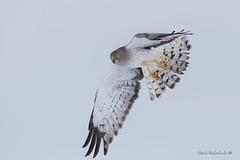 Harrier cruising (Earl Reinink) Tags: bird animal nature outdoors flying wildlife earl reinink earlreinink raptor predator hawk northernharrierhawk feet wings doddraudha sky eyes