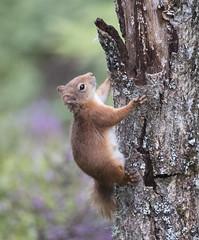 Red Squirrel. (richard.mcmanus.) Tags: redsquirrel squirrel scotland scottishhighlands mammal animal wildlife mcmanus aigas britishwildlife