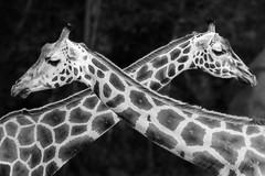 No Trespassing ! (Allieca Paterson) Tags: giraffes blackandwhite mono australiazoo wildlife giraffe australia queensland