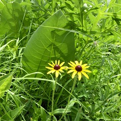 Westchester, IL, Wolf Road Prairie Nature Preserve, Brown-Eyed Susan Duo (Mary Warren 11.2+ Million Views) Tags: westchesteril wolfroadprairienaturepreserve nature flora plants prairie green leaves foliage yellow blooms blossoms flowers browneyedsusans