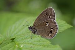 Brauner Waldvogel (walter hinn) Tags: genehmigt tiere insekten schmetterlinge tagfalter
