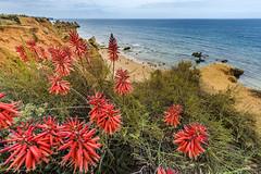 Seashore flowers (Sizun Eye) Tags: coast coastline aloes flowers algarve portugal sizuneye nikond750 nikkor1424mmf28 nikkor