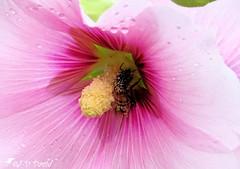 Jacuzzi à pollen ! (Jean-Daniel David) Tags: fleur rosetrémière coeur pistil mauve rosée macro grosplan nature yverdonlesbains suisse suisseromande vaud lac lacdeneuchâtel pollen
