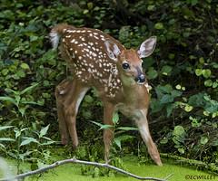 072718146838asmweb (ecwillet) Tags: deer fawn wildwoodparkharrisburgpa nikon nikond500 nikon200500f56 ecwillet ericwillet