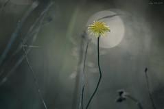 Han Som Reiste (oskaybatur) Tags: closeup nature burzum 2018 oskaybatur summer august türkiye turkey turkei pentaxkr justpentax pentaxart wildflower monochrome smcpentaxdal55300mmf458ed darknessandlight