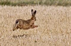 Brown Hare (1 of 3) - Taken at Harley Way, near Churchfield Farm, Oundle. Northants. UK. (Ian J Hicks) Tags: