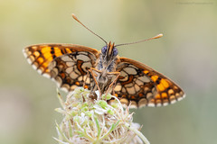 Fritillary II (S W Mahy) Tags: butterfly papillon insect macro nature garden summer grass bokeh wildlife beauty