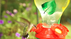 Hummingbird with red flower (DigiDreamGrafix.com) Tags: green red blue background colorful small ruby outdoors nature garden rain action bloom blossom flora flower food animal eating wildlife tropical violet bird pink forest wild tiny exotic tail beak avian america nectar fauna tropic bill central feathers ornithology hummingbird