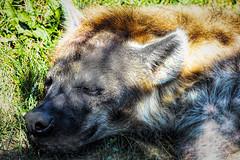 Hyena Under Glass (Vanessa wuz Here) Tags: 105mm 7dwf hyena zoo torontozoo toronto ontario lighting animal sleeping