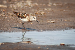 Sandpiper bird searching food (Apercoat) Tags: bird small river lake sand beach calidris minuta sandpiper coast