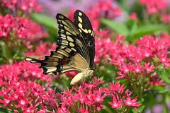Pink Pentas (KsCattails) Tags: butterfly giant kathrynkennedy kscattails macro nature overlandparkarboretum swallowtail pentas garden flower pink bright