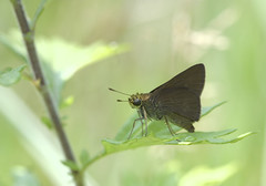 Dun Skipper (brian.magnier) Tags: new jersey nature wildlife animals outdoors