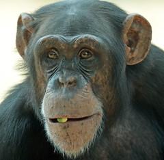 chimpanzee Amersfoort JN6A7136 (j.a.kok) Tags: chimpansee chimpanzee animal africa afrika aap ape amersfoort mammal monkey mensaap primate primaat zoogdier dier pantroglodytes