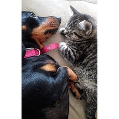 Unlikely friends (essex_photography) Tags: kitten cat cats dog miniature dauchshund k9 friends friend feline sleeping tabby short hair doggy pussy pussycat