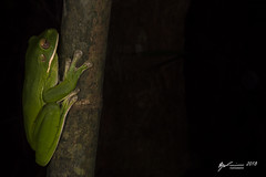 White-lipped Tree Frog (R. Francis) Tags: whitelippedtreefrog litoriainfrafrenata nyctimistesinfrafrenatus ryanfrancis ryanfrancisphotography qld queensland capeyork capeyorkpeninsula northqueensland ironrangenationalpark ironrange kutinipayamunationalpark kutinipayamu lockhart portlandroad