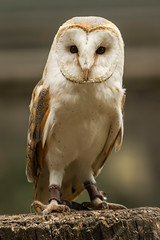 BARN OWL (_jypictures) Tags: animalphotography animals animal animalplanet canon canon7d canonphotography canon7dphotography barnowl owl birdwatching birdingphotography birding birds bird birdphotography birders birdofprey photography pictures naturephotography nature ukwildlife ukbirds ukbirding