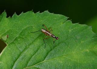 Stilt-legged Fly --- Micropezidae