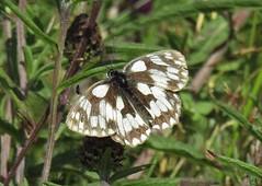 Marbled White (Melanargia galathea) (MarkWalpole) Tags: marbledwhite melanargiagalathea butterfly uk huntcliff clevelandway saltburn