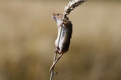 Harvest Mouse (Micromys minutus) (Fly~catcher) Tags: harvest mouse micromys minutus cereal crop wheat north yorkshire