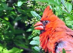 DSC_0540 (RachidH) Tags: birds oiseaux snow cardinal redbird northerncardinal cardinaliscardinalis cardinalrouge sparta nj rachidh nature