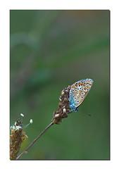 _DSC6518 (Des.Nam) Tags: papillon butterfly nature macro nikon nikond7100 105mmf28 desnam faune insecte vert bleu