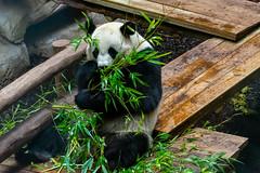 Panda géant (antoine_blin) Tags: animal arbres beauval colors couleurs d7200 feuilles green leaf nikon tamron70300mmf456divc trees vert zoo