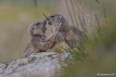 Bataille de marmotons (Lumières Alpines) Tags: didier bonfils goodson73 marmottes lautaret faune alpes france lumieres alpine europa outside