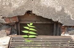 Signs of Life II (Breslau) (klaas.sperling) Tags: breslau polen wroclaw slask schlesien pflanze grün grau kontrast nadodrze signs life leben fauna zart widerstandsfähig