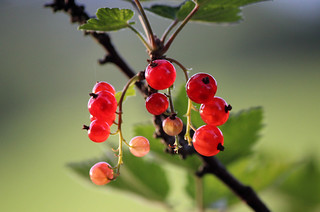 Forthcoming Berries
