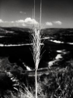 Ear of grass