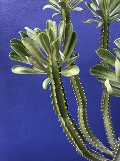 Euphorbia and Blue