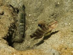 Mahidolia mystacina (PacificKlaus) Tags: goby gobiidae perciformes fish macro symbiosis shrimpgoby mahidoliamystacina flagfinshrimpgoby bolinao pangasinan philippines underwater ocean nature animal universityofthephilippines marinescienceinstitute marinelab underwaterphotography