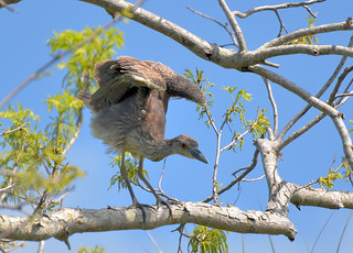 Yellow-crowned Night-Heron 4-23-14