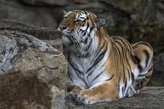 Tschuna in the Dry Waterfall (Jonnyfez) Tags: tschuna yorkshire wildlife park aumr siberian big cat stripes hiding jonnyfez predator nikon d500