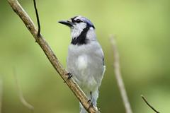 Blue Jay (Eric E Haas) Tags: pylesville maryland unitedstatesofamerica usa animals birds bluejay corvids cyanocittacristata lens passeriformes tamron150600mm