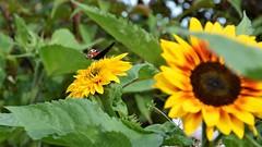 Seeking the sun (moniquerebanks) Tags: peacockbutterfly sunflower sun closeup garden garten jardin schmetterling vlinder papillon zonnebloem tournesol girasole girasol sonnenblume focus nikond7100 insekt insect cumbria uk