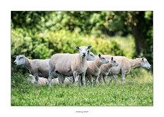 Keep a look out for whoever pinched our coats! (AnthonyCNeill) Tags: sheep ovejas schaf mutton animal tier outdoor group woolly field farm livestock herd