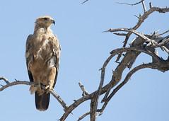 Tawny Eagle Namibia BB0T1577 (YOYO182) Tags: namibia etosha africa wildlife tawnyeagle