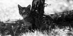 European wildcat 23-06-2018 009 (swissnature3) Tags: animals wildlife nature wildcat basel switzerland