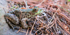 Frogbert, Mayor of Silent Lake! (Jay:Dee) Tags: silent lake provincial park woods forest frog amphibian