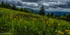 Summer Flowers Highland Scenic Highway (travelphotographer2003) Tags: summer highlandscenichighway route150 nationalscenicbyway pocahontascounty westvirginia usa appalachianmountains alleghenymountains appalachia beautyinnature exploration freshness idyllic purity relaxation tranquilscene flowers wildflowers bigspruceoverlook panoramic 12