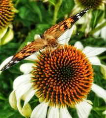 Butterfly (Ulla Dinborn) Tags: butterfly fjäril macro makro husarknapp blomma naturephotography