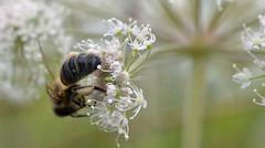 honey bee on wild angelica (conall..) Tags: closeup raynox dcr250 macro flower belfast bogmeadows bog meadows reserve nature westbelfast bee honeybee apis mellifera apismellifera pollination pollen load pollenload colour angelica sylvestris wild angelicasylvestris wildangelica apiaceae
