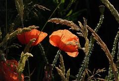 Poppies (joeke pieters) Tags: 1400526 panasonicdmcfz150 bekenwandeling meddo winterswijk achterhoek gelderland nederland netherlands holland klaproos klaprozen poppy poppies papaver klatschmohn bloem flower wildflower ngc npc